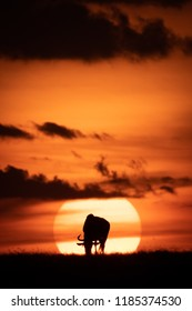 Blue wildebeest silhouetted in middle of sun
