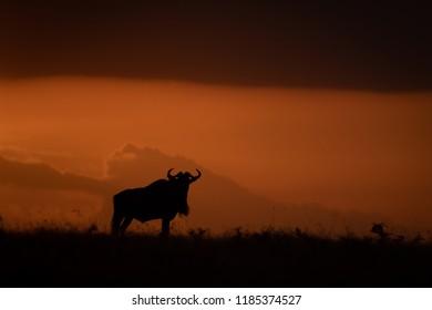 Blue wildebeest silhouetted at sundown on horizon