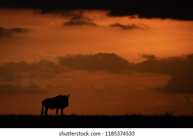 Blue wildebeest silhouetted at sunset on horizon