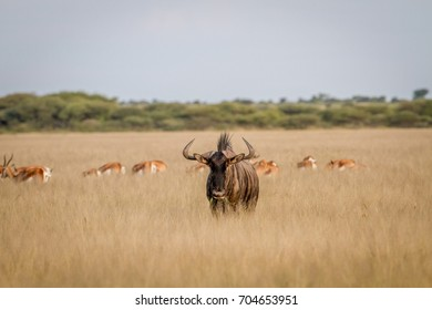 Blue wildebeest with Springboks in the background in the Central Kalahari, Botswana.
