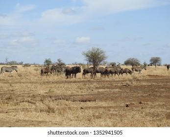 Blue wildebeest standing in the grass,.