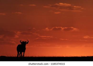 Blue wildebeest standing on horizon at sunset