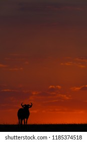 Blue wildebeest standing in silhouette at sunset