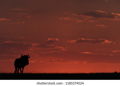 Blue wildebeest standing at sunset in silhouette