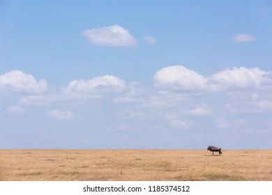 Blue wildebeest stands near horizon on savannah