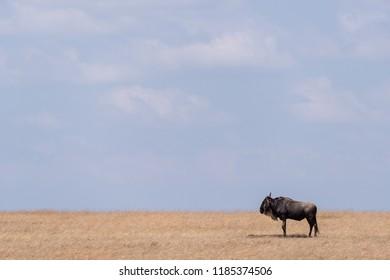 Blue wildebeest stands on savannah near horizon
