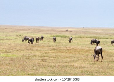Blue wildebeests (Connochaetes taurinus), called common wildebeest, white-bearded wildebeest or brindled gnu large antelope in Ngorongoro Conservation Area (NCA) Crater Highlands, Tanzania