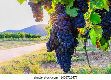 Blue Wine grapes on  vine. Dunkelfelder ( Farbtraube Froelich, Purpur ) dark-skinned variety of grape for German red wine,  German Wine Road, Rhineland Palatinate, Germany.  Sunlight in vineyard