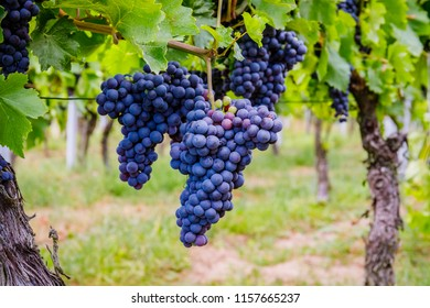 Blue wine and green grape leaf background, Germany.   Lemberger wine varieties, also Blaufrankisch, Lemberger, Limberger, Gamay, Frankovka, Modra Frankinja, Franconia