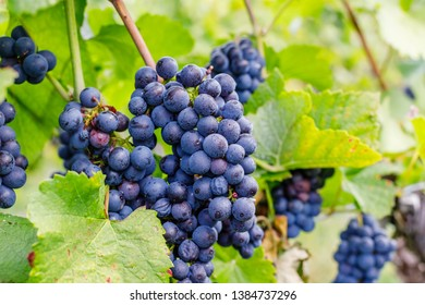 Blue wine and green grape leaf in foggy morning, close up. Lemberger wine varieties, also Blaufrankisch, Limberger, Gamay, Frankovka, Modra Frankinja, Franconia