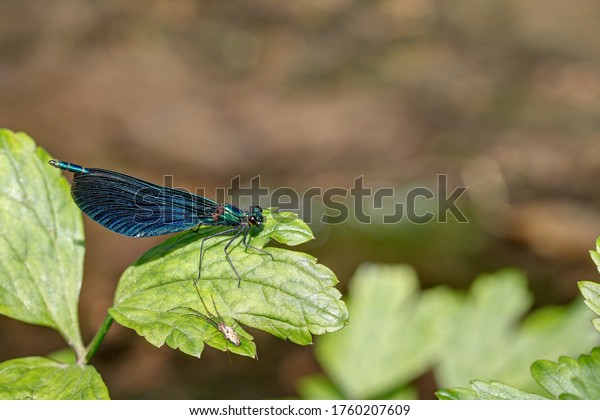 A blue winged dragonfly sits on a leaf on the river bank and is in the focus of a spider.