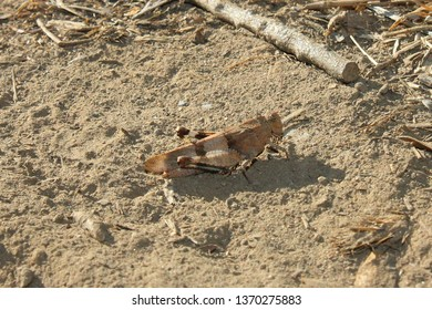 Blue Winged Grasshopper, Oedipoda caerulescens. Taken Aude, France.