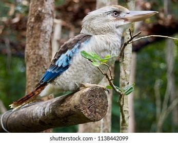 Blue Winged Kookaburra in Daintree Rainforest