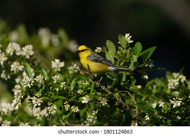 Blue winged warbler is a neotropical migratory bird that is bright ellow with bluish-gray wings and tail