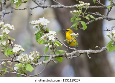 A blue winged warbler sings a songs while trying to hide behind an apple blossom.