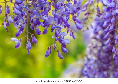 Blue Wisteria blossom on green blurred garden background. Chinese Fabaceae Wisteria sinensis flower