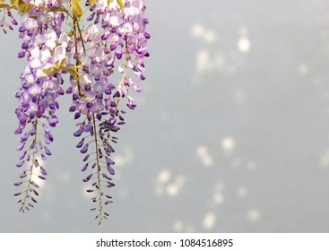 blue wisteria blossoms, bright background with sunspots