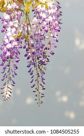 blue wisteria blossoms hanging in front of a bright background with sunspots