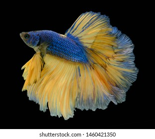 Blue and Yellow betta fish,Siamese fighting fish,siamese fighting fish betta splendens (Halfmoon betta,Betta splendens Pla-kad ( biting fish) isolated on black background