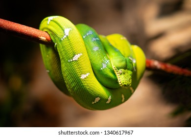Blue yellow coiled python snake