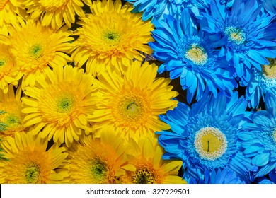 Blue and yellow gerbera flowers decoration, Madeira Flower Festival, Portugal