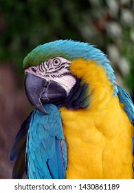 Blue and Yellow / Gold Macaw Parrot Ara ararauna