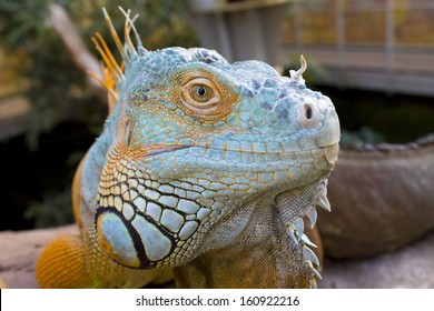 A blue yellow iguana looking at the camera