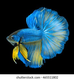 Blue Yellow Long Tail Halfmoon Betta or Siamese Fighting Fish Swimming Isolated on Black Background
