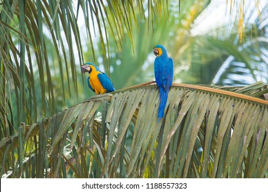 Blue and yellow macaw (Ara ararauna) in palm tree, couple, Brazil