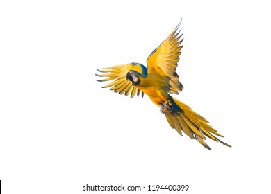 Blue and yellow macaw (Ara ararauna) in flight, Brazil