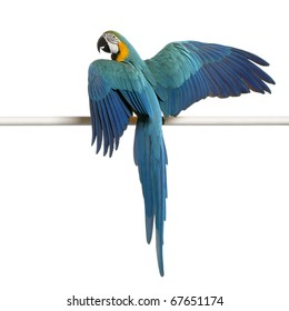 Blue and Yellow Macaw, Ara Ararauna, perched on pole in front of white background