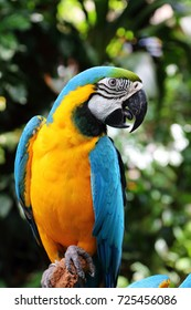 Blue and Yellow macaw, a beautiful parrot, standing on a tree branch