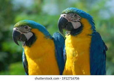 blue and yellow macaw couple, exotic bird, brazilian fauna