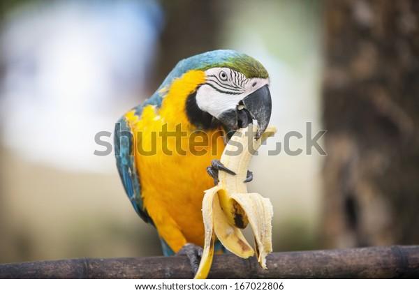 バナナを食べる青と黄色のマコー;ボラカイ;フィリピン