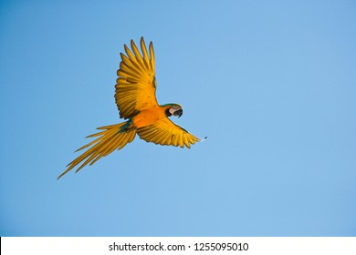 Blue and yellow Macaw in flight against a clear blue sky