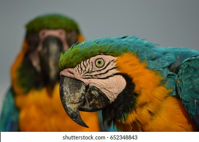 Blue and yellow macaw in foreground and background