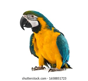 Blue and yellow Macaw in front