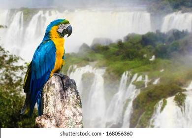 Blue and Yellow Macaw in Iguazu Falls, Brazil