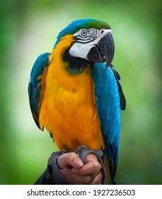 Macaw bleu et jaune originaire d'Amérique latine. Grand perroquet sud-américain, dont les parties sont principalement bleues et les parties inférieures sont orange clair, avec des teintes dégradées de vert sur la tête.