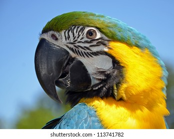 Blue and Yellow Macaw. Parrot