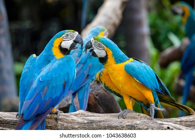 Blue and Yellow Macaw Parrot , Ara ararauna , also known as the Blue and Gold Macaw in Bangkok, Thailand. Close up