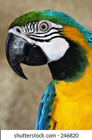 Blue and Yellow Macaw Parrot, Gran Canaria