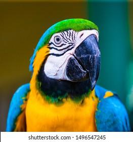 Blaue und gelbe Maca, Papagei in einem Naturpark in Cartagena, Kolumbien