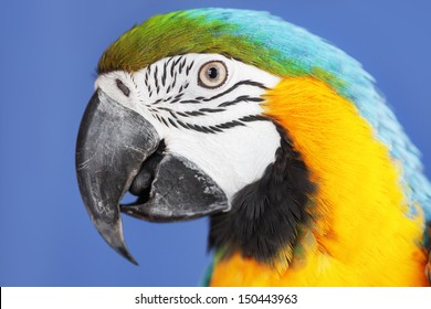 Blue and yellow macaw parrot studio shot
