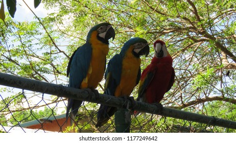 Blue and Yellow Macaw and Scarlet Macaw (Ara ararauna y Ara macao) Guacamayas