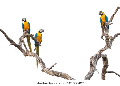 Blue and yellow macaws (Ara ararauna) in tree, Brazil