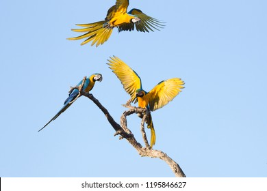 Blue and yellow macaws (Ara ararauna), Brazil