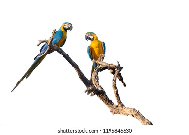 Blue and yellow macaws (Ara ararauna) on tree, Brazil