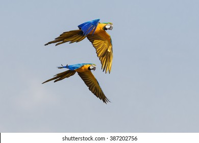 Blue and yellow macaws flying together. A pair of beautiful blue and yellow macaws fly together across a blue sky.