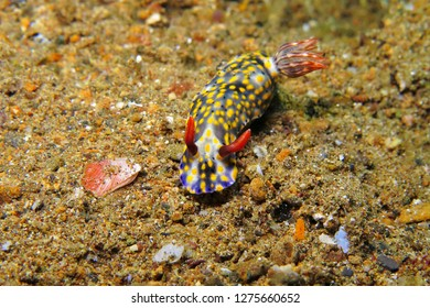 Blue yellow nudibranch (Hypselodoris infucata) on the sandy seabed. Underwater macro photography from scuba diving with ocean animals. Colorful sea slug on the sand. Tropical aquatic wildlife.